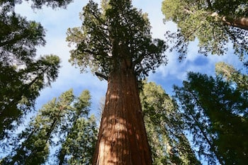 Giant Sequoia Forest Grove Washington County